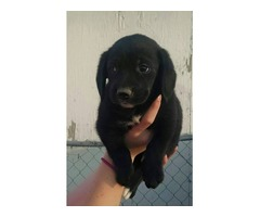 Lab/beagle puppies