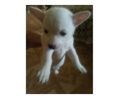 Chihuhuha Maltese mix puppies