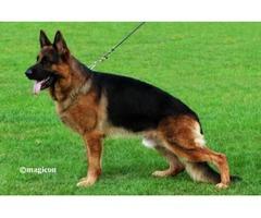 AKC German Shepherd Puppies 100% German Bloodlines.