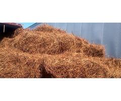 Clean pine straw